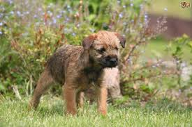 does a bedlington terrier shed border terrier dog breed information buying advice photos and
