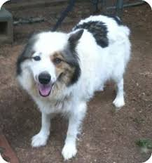 australian shepherd english bulldog mix china adopted dog irmo sc american eskimo dog australian