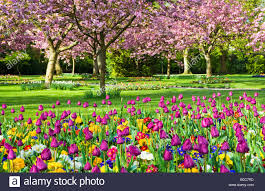 flower gardens spring flower beds of tulips and primulas with flowering cherry