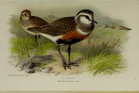 file coloured figures of the birds of the british islands issued