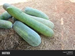 Vegetable Garden In Winter by Melon In Vegetable Garden The Winter Melon Also Called Ash
