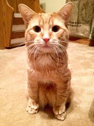 my bestie has the cutest little munchkin cat in the world meet