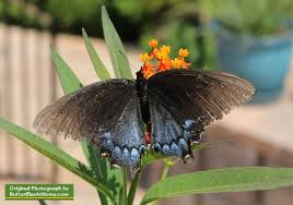 swallowtail butterfly comparison is it a black swallowtail or a