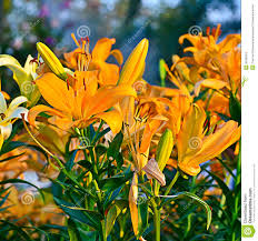 Lily Flower Garden - orange lily flower stock photos image 36186163