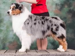 australian shepherd akc 72 best australian shepherd images on pinterest aussies animals