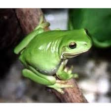 green tree frogs for sale melbourne amazing amazon