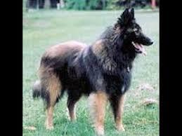 belgian sheepdog rescue uk بعض تدريبات كلاب التيرفيرين belgian tervuren youtube