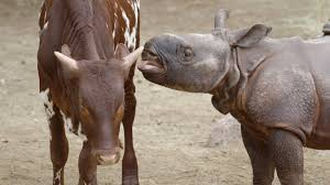 baby rhino u0026 best buddy moo moo kitty san diego zoo kids youtube