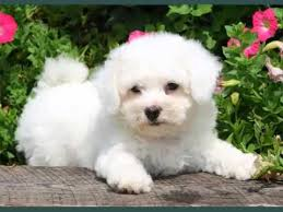 bichon frise breed standard bichon frise dogs set of bichon frise dog breed cute picture