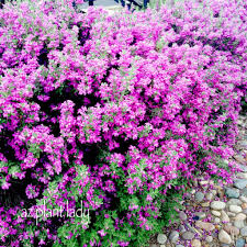 native sage plants southwest plant profile texas sage ramblings from a desert garden