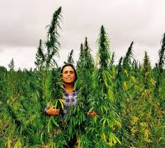 hemp crops may be grown by navajo nation native americans winona laduke standing rock is a
