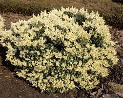 arbuste feuillage pourpre persistant andromède planter et entretenir u2013 ooreka