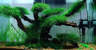 Fluval Edge Aquascape Aquascaping Ideas Low Maintenance Moss Tree Layout Aquascape