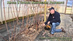 pruning raspberries at vsu randolph farm high tunnel raspberries