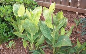 Canna Lily Bengal Tiger Canna Lily Perennial Plants
