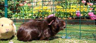 Happy Hutch Company Outdoor Guinea Pig Run Large Outdoor Guinea Pig Enclosure