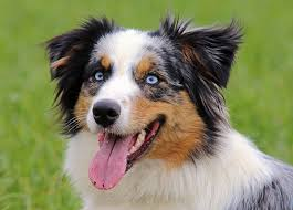 australian shepherd hunting the best dog breed for every zodiac sign