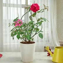 Fragrant Rose Plants - rose plants online india buy rose bushes from ferns n petals
