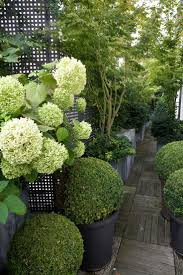 Lollipop Topiary Modern Country Style Hydrangeas Topiary And Boxwood In The