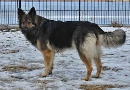 australian shepherd cost king shepherd dogs and king shepherd puppies
