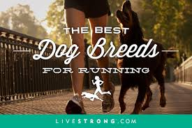 jogging with australian shepherd the 15 best dog breeds for running livestrong com