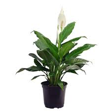Fragrant Indoor House Plants Costa Farms Spathipyllum In 6 In Grower Pot 6spath The Home Depot