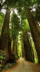 best 25 big trees in california ideas on pinterest sequoia car