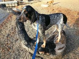 bluetick coonhound apparel 16 best my pets images on pinterest pets puppies and