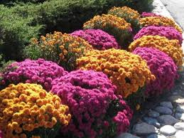 Fall Cleanup Landscaping by Fall Mums Salient Landscaping Snow Removal Fall Clean Up Ann