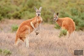 kangaroo survey australian vertebrate fauna