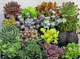 13 succulents that are native common hardy succulents that are often found in local greenhouses