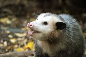cute photo of an opossum sticking out his tongue by tanisha