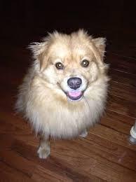 22 best husky pomeranian mix dogs images on pinterest husky mix