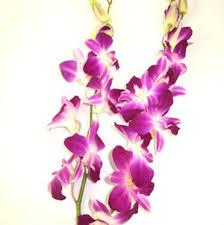 dendrobium orchid wholesale dendrobium orchid bombay orchid dendrobium bom