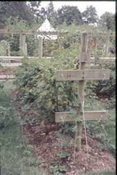 Rasberry Trellis Home Garden Raspberry