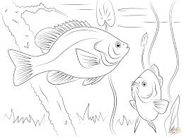 redear sunfish coloring page free printable coloring pages
