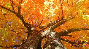 mainefoliage photo gallery foliage wallpaper
