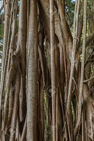 close up of a big indian rubber tree ficus elastica also called