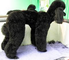 pet grooming the good the bad u0026 the furry no poodle look