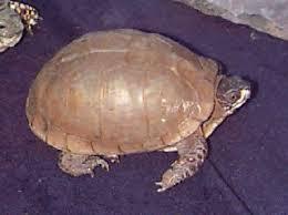 three toed box turtle terrapene carolina triunguis family emydidae