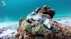 moray eels four species diving in phuket