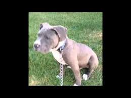american pitbull terrier size chart american bully before and after cropped ears youtube