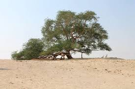 tree of bahrain