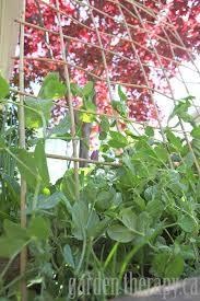 Bamboo Cucumber Trellis How To Make A Diy Bamboo Trellis