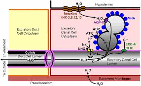 the caenorhabditis elegans excretory system a model for