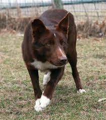 belgian shepherd x border collie smooth red border collie yup there u0027s that posture ready to jet