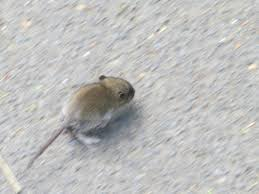 rodentia backyard and beyond
