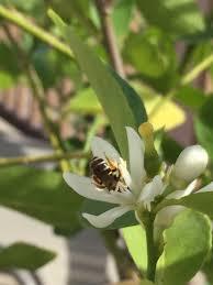 my backyard bees u2014 wild bee project urban wild bees slc ut us