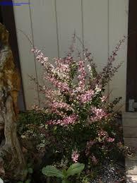 plantfiles pictures japanese barberry u0027atropurpurea u0027 berberis