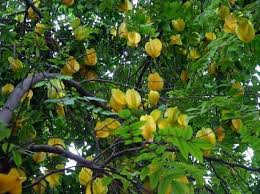 houston fruit tree sale planting u0026 care tips for your star fruit carambola tree
